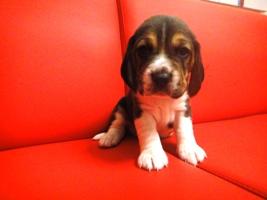 http://berezhki.net/beagle/30d/sm/red2.JPG