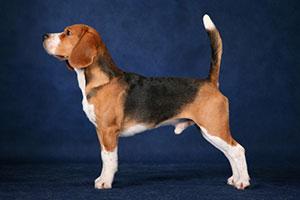 http://berezhki.net/beagle/PAPA1.jpg