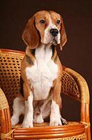 http://berezhki.net/beagle/PAPA4.jpg