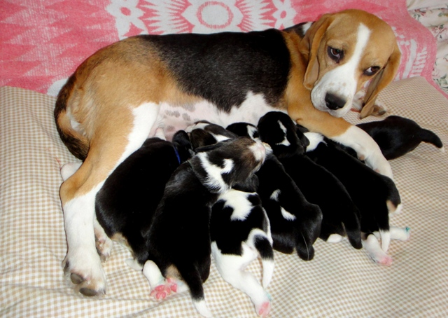 http://berezhki.net/beagle/mother.JPG